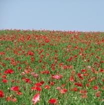 彩の国ふれあい牧場のポピー(5月下旬〜6月上旬)