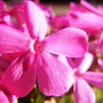 芝桜の花(4月下旬〜5月上旬)
