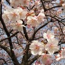 早咲き寒桜