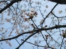 【桜の花】