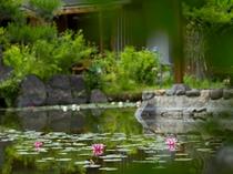 中池の睡蓮