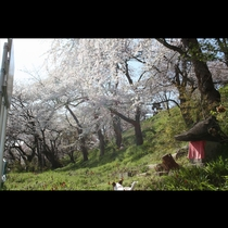 春の陽射しのもとで、たっぷりと揺れる烏帽子山公園の桜。満開の頃には辺り一面が美しい桜色に染まります。