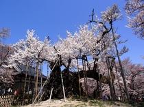 日本三大桜のひとつ 「神代桜」