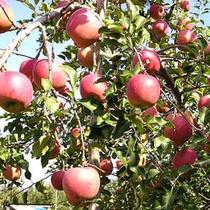 *りんご園/真っ赤に彩る甘味の詰まった美味しい恵み