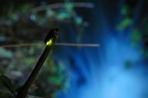 城崎温泉ホタル☆(ピーク時には、すごい数のホタルが…)※自然ものです。天候でご覧頂けない時があり。