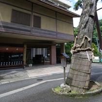 粟津のご神木、黄門杉