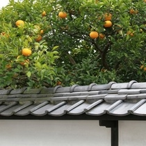 夏みかんと萩城下町の風景