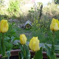 *庭の黄色いチューリップ