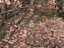 房総で一番早い桜