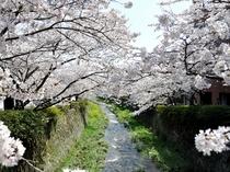 一の坂川(春)