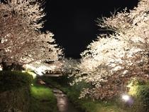 一の坂川(夜桜)