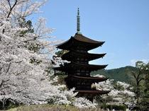 瑠璃光寺五重塔(春)