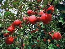 徳佐りんご園では8月中旬よりリンゴ狩りが開園されます。