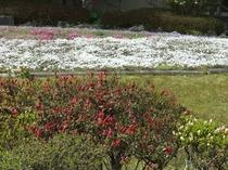 芝桜とミヤマキリシマ