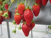 【いちご狩りプラン】温室育ちの真っ赤ないちごを食べ放題♪