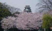 岡山城と桜