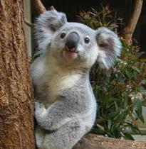 東山動植物園 コアラ