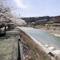 ホテル前桜並木