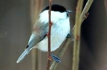 野鳥 コガラ