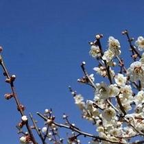 「梅」…秩父ミューズパークの「梅園」は3月上旬〜4月上旬にご覧いただけます。
