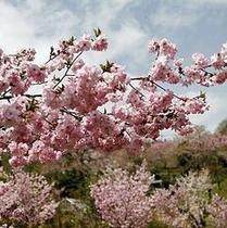 「八重桜」…長瀞町宝登山のふもとには、八重桜が中心の「通り抜けの桜」というスポットがございます。