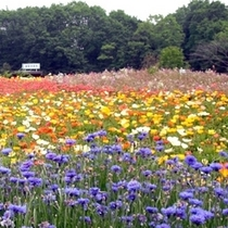 「花の回廊」…春季は、ヤグルマギク、夏スイセン、アイスランドポピー、ヒメキンギョソウ等を楽しめます。