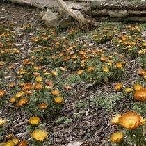 「福寿草」…福寿草はキンポウゲ科の多年草で、日光が当たっている時だけ花が開きます。