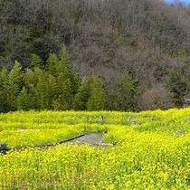 「菜の花」…皆野町の「皆野オアシス公園」にて4月上旬〜下旬にご覧いただけます。当館からも近くです。