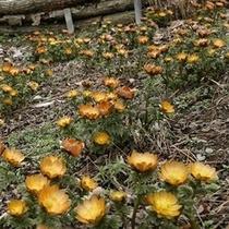 「福寿草」…更に、春の訪れを告げるとともに「幸福を招く」という花言葉をもつ幸せの花といわれています。