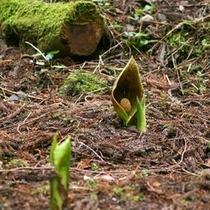 「ザゼンソウ」…荒川日野地区にて2月下旬〜3月中旬にご覧いただけます。(有料)