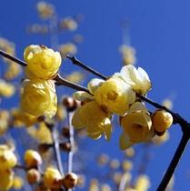 「ロウバイ」…園内には3種類、約2,000本が植栽されており、1月上旬〜2月中旬までご覧頂けます。