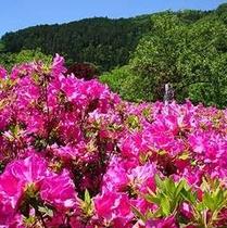 「オオムラサキツツジ」…吉田地区「吉田元気村」では、約6,500本を5月中旬・下旬に楽しめます。