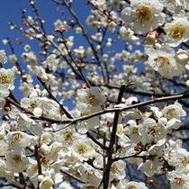 「梅」…長瀞町「梅百花園」では2月中旬〜3月末頃までご覧頂けます。早い時期はロウバイも楽しめます。