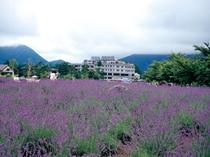 八木崎公園のラベンダー畑と若草の宿丸栄(6月下旬から7月中旬)