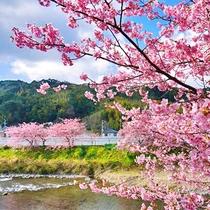 *当館から河津町までお車で約50分 2017年河津桜祭は2/10~3/10開催!