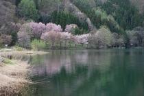 湖のほとりに咲く山桜