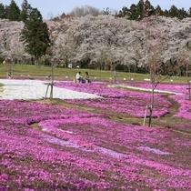 【千本桜】例年見ごろは4月10日前後でお祭りが開催されます!(見頃は天候などで前後します)