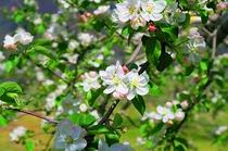 5月中旬 りんごの花