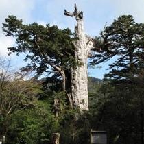 【紀元杉】屋久島で唯一、車窓から見ることが出来る屋久杉。
