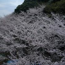 新川沿いのソメイヨシノ