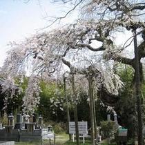柳生院のシダレザクラ