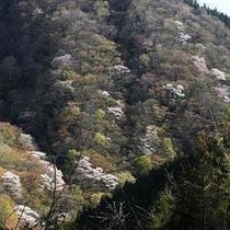 往生山の山桜