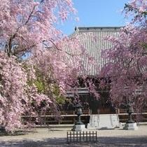 能満寺のシダレザクラ