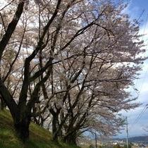県立翠の杜高校の桜並木