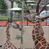 旭山動物園 キリン舎