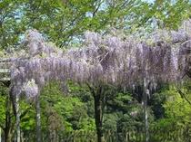 和気公園(和気神社)の藤の花