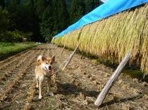 090921稲刈り
