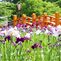 ■九華公園の花菖蒲