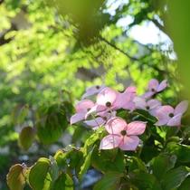 *【やまぼうしの花】当館の名称の由来にもなっているお花です