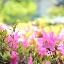*【周辺のお花】[ツツジ]鮮やかなピンク。白い花も咲いています。